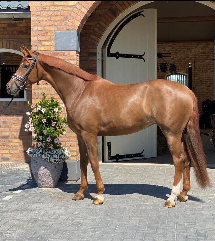 , Dressage Horses